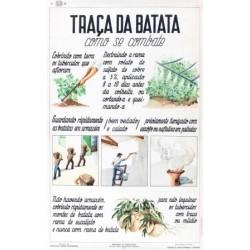 TRAÇA DA BATATA. COMO SE COMBATE